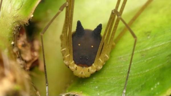 Hallan una curiosa especie de 'araña' con cabeza perro en Ecuador